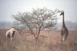 camerouns;cameroon;cameroons;cameroun;Light-Coloured-Giraffe;Waza-National-Park;Cameroun;West-Africa;africa;african;giraffes;giraffa-camelopardalis
