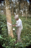 camerouns;cameroon;cameroons;cameroun;West-Africa;africa;african;plantation;plantation;tree;trees;forest;rubber;harvest;collect;latex;sticky;african;man;worker;tree;trunk;trunk;cut