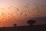 camerouns;cameroon;cameroons;cameroun;Light-Coloured-Giraffe;Waza-National-Park;Cameroun;West-Africa;africa;african;waza;egyptian-geese;bird;birds;goose;geese;alopochen-aegyptiacus;flock;flocks;many