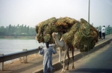 african;camel;camels;ships-of-the-desert;niger;niamey;load;heavy;grass;hay;straw;bridge;kennedy-bridge;sahel;west;africa;african-;traditional;tradition;culture;cultural;transport;cart;third-world;primative