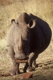 safari;safaris;game-viewing;rhinos;rhinoceros;rhinoceroses;pachyderm;pachyderms;Ceratotherium-simumsimum;white-rhinoceros;square_lipped-rhinoceros;square-lipped-rhinoceros;game-park;game-parks;national-park;africa;african;animal;animals;wild;wildlife;southern-white-rhinoceros;zoology;endangered;mammal;mammals;threatened;horn;poaching,