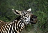 east-africa;africa;african;animal;animals;mammal;wild;wildlife;zoology;plain;plains;savannah;savanna;savanah;savana;grasslands;game-park;game-parks;stripes;black-and-white;stripe;striped;zebras;Equus-burchelli;mouth;mouths;yell;yelling;shout;shouts;shouting;yells;safari;safaris;game-viewing