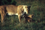plain;plains;savannah;savanna;savanah;savana;grasslands;game-park;game-parks;cat;cats;feline;felines;predator;predators;carnivore;east-africa;africa;african;animal;animals;mammal;mammals;wild;wildlife;zoology,carnivores;lions;lion;Panthera-leo;roar;yawn;yawning;teeth;canines;bite;hungry;hunger;lazy;laziness;mouth;mouths;safari;safaris;game-viewing;rift-valley;lionesses;ouch;cub;cubs;baby;babies;mother;mothers;female;females