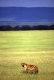 africa;african;animal;animals;mammal;mammals;nature;predator;predators;fur;east-africa;wildlife;wild;zoology;safari;safaris;game-viewing;carnivore;carnivores;omnivore;scavenger;scavengers;spotted-hyena;plain;crocuta-crocuta;erxleben;hyenas;tierwolf;plains;savannah;savanna;savanah;savana;grasslands;game-park;game-parks;rift-valley