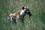africa;african;animal;animals;mammal;mammals;nature;predator;predators;fur;east-africa;wildlife;wild;zoology;safari;safaris;game-viewing;carnivore;carnivores;omnivore;scavenger;scavengers;spotted-hyena;plain;crocuta-crocuta;erxleben;hyenas;tierwolf;-plain;plains;savannah;savanna;savanah;savana;grasslands;game-park;game-parks;safari;safaris;game-viewing;rift;impala;thompsons-gazelle;head;kill;eat