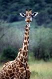 Giraffa-camelopardalis;east-africa;africa;african;animal;animals;giraffes;mammal;wild;wildlife;zoology;long-neck;tall;height;savannah;savanna;savanah;savana;grasslands;game-park;game-parks;safari;safaris;game-viewing;rift-valley