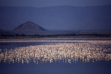 Africa;Animal;Animals;Aquatic-bird;Aquatic-birds;Bird;Birds;Color;Colour;Crowd;Crowds;Daytime;Flamingo;Flamingos;Group;Groups;Horizontal;Kenya;Lake;Lakes;Lesser-Flamingo;Lesser-Flamingos;Many;Mass;Nature;Outdoor;Outdoors;Outside;Phoeniconaias-minor;Phoenicopterus-minor;Wading;Wading-bird;Wading-birds;Water;Web_footed;Wild;Wildlife;reflection;reflections;white;pink