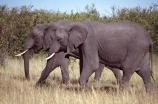 africa;african;animal;animals;elephant;elephants;african-elephant;african-elephants;jumbo;pachyderm;pachyderms;wildlife;wild;mammal;mammals;large;big;enormous;trunk;trunks;Loxodonta-africana;Ivory;tusk;tusks;game-park;game-parks;safari;safaris;game-viewing;threatened;endangered;nose;noses;national-park;national-parks;ear;ears;skin;herbivore;herbivores;reserve;reserves;Masai-Mara;masai;maasai;masai-mara-National-Reserve;Kenya;kenyan;east-africa;two;pair