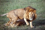 east-africa;africa;african;animal;animals;mammal;mammals;wild;wildlife;zoology;plain;plains;savannah;savanna;savanah;savana;grassland;grasslands;game-park;game-parks;cat;cats;feline;felines;predator;predators;carnivore;carnivores;lions;lion;Panthera-leo;pride-leader;dominant;safari;safaris;game-viewing;rift-valley;masai-mara-national-reserve;masai-mara;maasai;maasai-mara;kenya;kenyan;reserve;reserves;male-males;mane;manes;anger;angry;attack;attacks;danger;dangerous;charge;charges;charging;mock;mocks