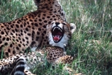 Acinonyx-jubatus;duma;felidae;acinonychinae;africa;african;animal;animals;cat;cats;cheetah;cheetahs;feline;felines;mammal;mammals;nature;predator;predators;hunt;hunter;spotted;spots;spot;fur;southern-africa;fast;fastest;wildlife;wild;zoology;safari;safaris;game-viewing;game-park;game-parks;national-park;national-parks;threatened;endangered;yawn;yawning;teeth;canines;bite;hungry;hunger;lazy;laziness;roaring;sleepy;tired;sleepiness;mouth;mouths;yell;yelling;shout;shouts;shouting;yells;masai-mara-national-reserve;masai-mara;maasai-mara;maasai;masai;cub;cubs;young