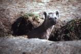 africa;african;animal;animals;mammal;mammals;nature;predator;predators;fur;east-africa;wildlife;wild;zoology;safari;safaris;game-viewing;game-park;game-parks;national-park;national-parks;carnivore;carnivores;omnivore;scavenger;scavengers;spotted-hyena;plain;crocuta-crocuta;erxleben;hyenas;tierwolf;plains;savannah;savanna;savanah;savana;grasslands;rift-valley;masai-mara-national-reserve;masai-mara;maasai-mara;masai;maasai;ugly;little;cub;cubs;young;pup;puppy;pups;puppies;hole;den;holes;dens
