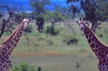 Giraffa-camelopardalis;east-africa;africa;african;animal;animals;giraffe;giraffes;mammal;wild;wildlife;zoology;long-neck;tall;height;plain;plains;savannah;savanna;savanah;savana;grasslands;game-park;game-parks;safari;safaris;game-viewing;national-park;national-parks;Mikumi-National-Park;mikumi;Tanzania;tanzanian;two;pair;mirror-image