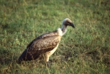 bird;birds;africa;african;animal;animals;feather;feathers;nature;wild;wildlife;safari;safaris;game-viewing;bird-spotting;Gyps-africanus;Whitebacked-Vulture;white_backed-vulture;vulture;Whitebacked-Vultures;white_backed-vultures;vultures;Masai-Mara-National-Reserve;masai-mara;maasai-mara;masai;maasai;Kenya;kenyan;rift-valley;East-Africa