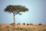 bird;birds;africa;african;animal;animals;feather;feathers;nature;wild;wildlife;safari;safaris;game-viewing;bird-spotting;Struthio-camelus;Ostrich;ostriches;Masai-Mara-National-Reserve;masai-mara;maasai-mara;masai;maasai;Kenya;kenyan;savannah;savanah;savanna;savana;East-Africa;rift-valley;tree;trees;acacia;acacias;plain;plains