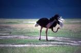 bird;birds;africa;african;animal;animals;feather;feathers;nature;wild;wildlife;safari;safaris;game-viewing;bird-spotting;Struthio-camelus;Ostrich;ostriches;savannah;savanah;savanna;savana;East-Africa;rift-valley;plain;plains;ngorongoro-crater;ngorongoro;ngorongoro-conservation-area;tanzania;tanzanian