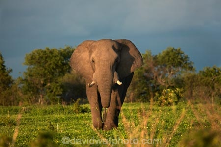 Africa;African;African-elephant;African-elephants;animal;animals;black-clouds;Botswana;Chobe-N.P.;Chobe-National-Park;Chobe-NP;cloud-clouds;dark-clouds;elephant;elephants;gray-clouds;grey-clouds;Loxodonta-africana;mammal;mammals;national-park;national-parks;natural;nature;pachyderm;pachyderms;reserve;reserves;safari;safaris;Savute;Savuti;Southern-Africa;wild;wilderness;wildlife;wildlife-park;wildlife-parks;wildlife-reserve;wildlife-reserves
