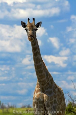 Africa;Angolan-giraffe;animal;animals;Botswana;game-drive;game-viewing;Giraffa-camelopardalis;Giraffa-camelopardalis-angolensis;giraffe;giraffes;mammal;mammals;Namibia;national-park;national-parks;natural;nature;Nxai-Pan-N.P.;Nxai-Pan-National-Park;Nxai-Pan-NP;reserve;reserves;Southern-Africa;tall;wild;wilderness;wildlife