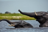Africa;African;African-elephant;African-elephants;animal;animals;Botswana;Chobe-N.P.;Chobe-National-Park;Chobe-NP;Chobe-River;Chobe-River-Front;Chobe-River-Front-Region;Chobe-River-Region;Chobe-waterfront;copulate;copulating;copulation;coupling;elephant;elephants;intercourse;Kasane;Loxodonta-africana;mammal;mammals;mating;national-park;national-parks;natural;nature;pachyderm;pachyderms;pairing;reserve;reserves;river;rivers;safari;safaris;sex;Southern-Africa;trunk;trunks;tusk;tusks;water;wild;wilderness;wildlife;wildlife-park;wildlife-parks;wildlife-reserve;wildlife-reserves