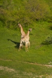 aerial;aerial-image;aerial-images;aerial-photo;aerial-photograph;aerial-photographs;aerial-photography;aerial-photos;aerial-view;aerial-views;aerials;Africa;Angolan-giraffe;animal;animals;Botswana;delta;deltas;Endorheic-basin;Giraffa-camelopardalis;Giraffa-camelopardalis-angolensis;giraffe;giraffes;inland-delta;internal-drainage-systems;mammal;mammals;Okavango;Okavango-Delta;Okavango-Swamp;river-delta;Seven-Natural-Wonders-of-Africa;Southern-Africa;wildlife