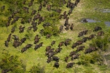 aerial;aerial-image;aerial-images;aerial-photo;aerial-photograph;aerial-photographs;aerial-photography;aerial-photos;aerial-view;aerial-views;aerials;Africa;African-buffalo;African-buffaloes;animal;animals;Botswana;buffalo;buffalo-herd;buffalo-herds;buffaloes;cape-buffalo;cape-buffaloes;crowd;crowds;delta;deltas;Endorheic-basin;flood-plain;flood-plains;flood_plain;flood_plains;floodplain;floodplains;herd;herds;inland-delta;internal-drainage-systems;mammal;mammals;many;Okavango;Okavango-Delta;Okavango-Swamp;plain;plains;river-delta;Seven-Natural-Wonders-of-Africa;Southern-Africa;stampede;stampedes;Syncerus-caffer;Syncerus-caffer-caffer;wildlife
