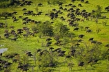 aerial;aerial-image;aerial-images;aerial-photo;aerial-photograph;aerial-photographs;aerial-photography;aerial-photos;aerial-view;aerial-views;aerials;Africa;African-buffalo;African-buffaloes;animal;animals;Botswana;buffalo;buffalo-herd;buffalo-herds;buffaloes;cape-buffalo;cape-buffaloes;delta;deltas;Endorheic-basin;flood-plain;flood-plains;flood_plain;flood_plains;floodplain;floodplains;herd;herds;inland-delta;internal-drainage-systems;mammal;mammals;Okavango;Okavango-Delta;Okavango-Swamp;plain;plains;river-delta;Seven-Natural-Wonders-of-Africa;Southern-Africa;stampede;stampedes;Syncerus-caffer;Syncerus-caffer-caffer;wildlife