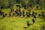 aerial;aerial-image;aerial-images;aerial-photo;aerial-photograph;aerial-photographs;aerial-photography;aerial-photos;aerial-view;aerial-views;aerials;Africa;African-buffalo;African-buffaloes;animal;animals;Botswana;buffalo;buffalo-herd;buffalo-herds;buffaloes;cape-buffalo;cape-buffaloes;delta;deltas;Endorheic-basin;flood-plain;flood-plains;flood_plain;flood_plains;floodplain;floodplains;herd;herds;inland-delta;internal-drainage-systems;mammal;mammals;Okavango;Okavango-Delta;Okavango-Swamp;plain;plains;river-delta;Seven-Natural-Wonders-of-Africa;Southern-Africa;stampede;stampedes;Syncerus-caffer;Syncerus-caffer-caffer;wildlife