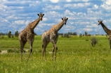 Africa;African-plain;African-plains;Angolan-giraffe;animal;animals;Botswana;game-drive;game-viewing;Giraffa-camelopardalis;Giraffa-camelopardalis-angolensis;giraffe;giraffes;herd;herds;mammal;mammals;Namibia;national-park;national-parks;natural;nature;Nxai-Pan-N.P.;Nxai-Pan-National-Park;Nxai-Pan-NP;plain;plains;reserve;reserves;Southern-Africa;tall;wild;wilderness;wildlife