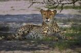 Acinonyx-jubatus;Africa;animal;animals;Botswana;carnivore;carnivores;cat;cats;Cheetah;Cheetahs;feline;game-drive;game-viewing;hunter;hunters;mammal;mammals;Namibia;national-park;national-parks;natural;nature;Nxai-Pan-N.P.;Nxai-Pan-National-Park;Nxai-Pan-NP;predator;predators;reserve;reserves;Southern-Africa;wild;wilderness;wildlife