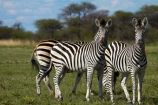 Africa;animal;animals;Botswana;Burchells-zebra;Equus-burchellii;Equus-quagga;Equus-quagga-burchellii;game-drive;game-viewing;mammal;mammals;Namibia;national-park;national-parks;natural;nature;Nxai-Pan-N.P.;Nxai-Pan-National-Park;Nxai-Pan-NP;reserve;reserves;Southern-Africa;wild;wilderness;wildlife;zebra;zebras