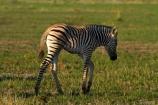 Africa;animal;animals;babies;baby;baby-zebra;baby-zebras;Botswana;Burchells-zebra;Equus-burchellii;Equus-quagga;Equus-quagga-burchellii;game-drive;game-viewing;mammal;mammals;Namibia;national-park;national-parks;natural;nature;Nxai-Pan-N.P.;Nxai-Pan-National-Park;Nxai-Pan-NP;reserve;reserves;Southern-Africa;wild;wilderness;wildlife;zebra;zebras