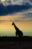 Africa;Angolan-giraffe;animal;animals;Botswana;dusk;evening;Giraffa-camelopardalis;Giraffa-camelopardalis-angolensis;giraffe;giraffes;mammal;mammals;national-park;national-parks;night;night_time;nightfall;Nxai-Pan-N.P.;Nxai-Pan-National-Park;Nxai-Pan-NP;silhouette;silhouettes;Southern-Africa;sunset;sunsets;tall;twilight;wildlife
