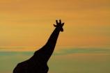 Africa;Angolan-giraffe;animal;animals;Botswana;dusk;evening;game-drive;game-viewing;Giraffa-camelopardalis;Giraffa-camelopardalis-angolensis;giraffe;giraffes;mammal;mammals;Namibia;national-park;national-parks;natural;nature;night;night_time;nightfall;Nxai-Pan-N.P.;Nxai-Pan-National-Park;Nxai-Pan-NP;reserve;reserves;silhouette;silhouettes;Southern-Africa;sunset;sunsets;tall;twilight;wild;wilderness;wildlife