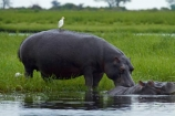 Africa;animal;animals;avian;bird;bird-spotting;bird-watching;bird_watching;birds;Botswana;Bubulcus-ibis;calm;Cattle-Egrets;Chobe-N.P.;Chobe-National-Park;Chobe-NP;Chobe-River;Chobe-River-boat-trip;Chobe-River-boat-trips;Chobe-River-cruise;Chobe-River-cruises;eco-tourism;eco_tourism;ecotourism;egret;egrets;Fauna;hippo;hippopotami;hippopotamus;Hippopotamus-amphibius;hippopotamuses;hippos;Kasane;mammal;mammals;national-park;national-parks;Natural;Nature;Ornithology;Southern-Africa;wild;wildlife
