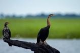 Africa;African-Darter;African-Darters;Anhinga-rufa;animal;animals;avian;bird;bird-spotting;bird-watching;bird_watching;birds;Botswana;Chobe-N.P.;Chobe-National-Park;Chobe-NP;Chobe-River;Chobe-River-boat-trip;Chobe-River-boat-trips;Chobe-River-cruise;Chobe-River-cruises;cormorant;cormorants;Darter;Darters;eco-tourism;eco_tourism;ecotourism;Fauna;juvenile-cormorant;juvenile-cormorants;Kasane;national-park;national-parks;Natural;Nature;Ornithology;Snakebird;Snakebirds;Southern-Africa;wild;wildlife