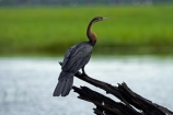 Africa;African-Darter;African-Darters;Anhinga-rufa;animal;animals;avian;bird;bird-spotting;bird-watching;bird_watching;birds;Botswana;Chobe-N.P.;Chobe-National-Park;Chobe-NP;Chobe-River;Chobe-River-boat-trip;Chobe-River-boat-trips;Chobe-River-cruise;Chobe-River-cruises;Darter;Darters;eco-tourism;eco_tourism;ecotourism;Fauna;Kasane;national-park;national-parks;Natural;Nature;Ornithology;Snakebird;Snakebirds;Southern-Africa;wild;wildlife