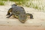 Africa;animal;animals;Botswana;Chobe-N.P.;Chobe-National-Park;Chobe-NP;Chobe-River;croc;crocodile;crocodiles;Crocodylus-niloticus;crocs;danger;dangerous;Kasane;national-park;national-parks;Nile-crocodile;Nile-crocodiles;reptile;reptiles;scary;Southern-Africa;wildlife