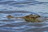Africa;animal;animals;Botswana;Chobe-N.P.;Chobe-National-Park;Chobe-NP;Chobe-River;croc;crocodile;crocodiles;Crocodylus-niloticus;crocs;danger;dangerous;Kasane;national-park;national-parks;Nile-crocodile;Nile-crocodiles;reptile;reptiles;river;rivers;scary;Southern-Africa;wildlife