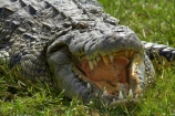 Africa;animal;animals;Botswana;Chobe-N.P.;Chobe-National-Park;Chobe-NP;Chobe-River;croc;crocodile;crocodiles;Crocodylus-niloticus;crocs;danger;dangerous;Kasane;mouth;national-park;national-parks;Nile-crocodile;Nile-crocodiles;reptile;reptiles;scary;Southern-Africa;teeth;wildlife