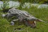 Africa;animal;animals;Botswana;Chobe-N.P.;Chobe-National-Park;Chobe-NP;Chobe-River;croc;crocodile;crocodiles;Crocodylus-niloticus;crocs;danger;dangerous;Kasane;mouth;national-park;national-parks;Nile-crocodile;Nile-crocodiles;reptile;reptiles;scary;Southern-Africa;teeth;wildlife