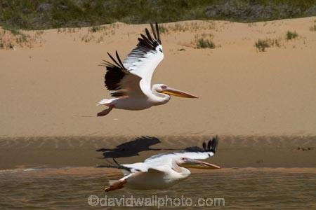 Africa;animal;animals;Atlantic-Coast;avian;bird;bird-watching;birds;Eastern-White-Pelican;eco-tourism;eco_tourism;ecotourism;Fauna;Great-White-Pelican;Namib-Naukluft-N.P.;Namib-Naukluft-National-Park;Namib-Naukluft-NP;Namib_Naukluft-N.P.;Namib_Naukluft-National-Park;Namib_Naukluft-NP;Namibia;Natural;Nature;Ornithology;Pelecanus-onocrotalus;Rosy-Pelican;Sandwich-Harbour-4x4-tour;Southern-Africa;Walfischbai;Walfischbucht;Walvis-Bay;Walvis-Bay-Harbour;Walvisbaai;White-Pelican;wildlife