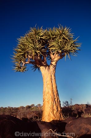 Kokerboom;Quiver;tree;trees;keetmanshoop;Namibia;aloe-dichotoma;bark;quivers;africa;african;forest;forests;plant;plants;vegetation;nature;botany;sky