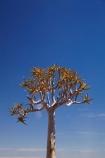 Africa;aloe;Aloe-dichotoma;aloes;bark;botany;desert-plant;desert-plants;Gondwana-Canon-park;Kokerboom-Tree;Kokerboom-Trees;Namibia;nature;plant;plants;Quiver-Tree;Quiver-Trees;quivers;Southern-Africa;Southern-Namiba;southern-Namibia;trees;vegetation