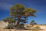 Acacia-tree;Acacia-trees;Africa;african;big-large;bird-nest;bird-nests;birds-nest;birds-nests;colonies;colony;communities;community;desert;deserts;dry;flock;giant-nest;Gondwana-Canon-park;group;home;huge;huge-nest;nambia;Namib-Desert;Namibia;namibian;nest;nests;sociable;Sociable-Weavers-Nest;social;Southern-Africa;Southern-Namiba;tree;trees;weaver;weavers