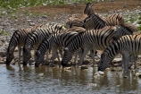 Africa;animal;animals;Burchells-zebra;Equus-quagga;Equus-quagga-burchellii;Etosha-N.P.;Etosha-National-Park;Etosha-NP;game-park;game-parks;game-reserve;game-reserves;mammal;mammals;Namibia;national-park;national-parks;Okaukuejo-waterhole;Plains-zebra;Southern-Africa;Steppenzebra;waterhole;waterholes;wildlife;wildlife-park;wildlife-parks;wildlife-reserve;wildlife-reserves;Zebra;zerbras