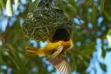 Africa;African-Masked-Weaver;African-Masked-Weavers;animal;animals;avian;bird;bird-nest;bird-nests;bird-spotting;bird-watching;bird_watching;birds;birds-nest;birds-nests;eco-tourism;eco_tourism;ecotourism;Etosha-N.P.;Etosha-National-Park;Etosha-NP;Fauna;game-park;game-parks;game-reserve;game-reserves;mammal;mammals;Masked-Weaver;Masked-Weavers;Namibia;national-park;national-parks;Natural;Nature;nest;nests;Ornithology;Ploceus-velatus;Southern-Africa;Southern-Masked-Weaver;Southern-Masked-Weavers;tree;trees;Weaver;Weavers;wild;wildlife;wildlife-park;wildlife-parks;wildlife-reserve;wildlife-reserves