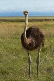 Africa;animal;animals;bird;bird-spotting;birds;Etosha-N.P.;Etosha-National-Park;Etosha-NP;game-drive;game-park;game-parks;game-reserve;game-reserves;game-viewing;Namibia;national-park;national-parks;natural;nature;Ostrich;ostriches;reserve;reserves;Southern-Africa;Struthio-camelus;wild;wilderness;wildlife;wildlife-park;wildlife-parks;wildlife-reserve;wildlife-reserves