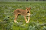 Africa;animal;animals;carnivore;carnivores;cat;cats;Etosha-N.P.;Etosha-National-Park;Etosha-NP;feline;game-park;game-parks;game-reserve;game-reserves;hunter;hunters;lion;Lioness;lionesses;lions;mammal;mammals;Namibia;national-park;national-parks;Panthera-leo;predator;predators;Southern-Africa;wildlife;wildlife-park;wildlife-parks;wildlife-reserve;wildlife-reserves