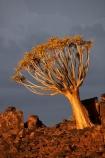 karas;karas-region;africa;african;aloe;Aloe-dichotoma;aloes;bark;botany;desert;desert-plant;desert-plants;forest;forests;Keetmanshoop;kokerboom-forest;Kokerboom-Tree;Kokerboom-Trees;Mesosaurus-Camp;Mesosaurus-Fossil-Camp;nambia;Namib-Desert;Namibia;namibian;nature;plant;plants;Quiver-Tree;quiver-tree-forest;Quiver-Trees;quivers;quivertree-forest;Southern-Africa;Southern-Namiba;southern-Namibia;tree;trees;unusual;vegetation;Aloidendron-dichotomum
