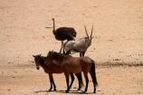 Africa;african;animal;animals;Antelope;Antelopes;Aus;bird;bird-spotting;birds;desert;desert-horse;desert-horses;deserts;dry;equestrian;expanse;feral-desert-horses;feral-horse;feral-horses;game-viewing;Garub;Gemsbok;gemsboks;horse;horses;Mammal;Mammals;Namib-Desert;Namib-Naukluft-N.P.;Namib-Naukluft-National-Park;Namib-Naukluft-NP;Namib_Naukluft-N.P.;Namib_Naukluft-National-Park;Namib_Naukluft-NP;Namibia;nature;Oryx;Oryx-gazella;oryxes;oryxs;Ostrich;ostriches;Southern-Africa;Southern-Namiba;Struthio-camelus;wild;wild-desert-horses;wild-horse;wild-horses;wilderness;wildlife