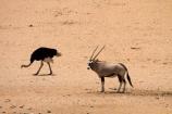 Africa;african;animal;animals;Antelope;Antelopes;Aus;bird;bird-spotting;birds;desert;deserts;dry;expanse;game-viewing;Garub;Gemsbok;gemsboks;Mammal;Mammals;Namib-Desert;Namib-Naukluft-N.P.;Namib-Naukluft-National-Park;Namib-Naukluft-NP;Namib_Naukluft-N.P.;Namib_Naukluft-National-Park;Namib_Naukluft-NP;Namibia;Nature;Oryx;Oryx-gazella;oryxes;oryxs;ostrich;ostriches;sand;sandy;Southern-Africa;Southern-Namiba;Struthio-camelus;wild;wilderness;wildlife